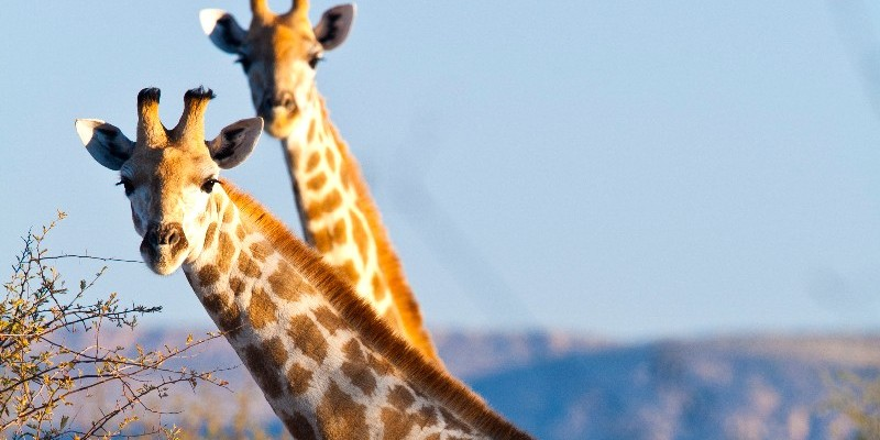 <p>Giraffe</p>